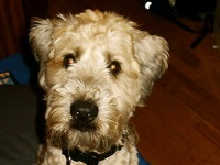 wheaten terrier rescue texas new mexico soft coated wheaten terrier rescue adoptions 4800