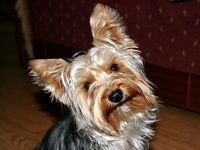 Adopt yorkshire terrier toy